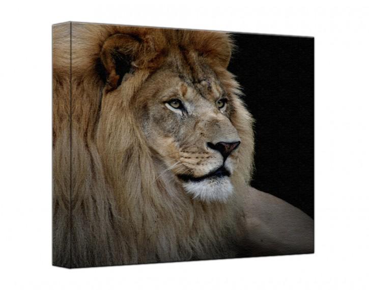 Leinwandbild Löwe quadratisch