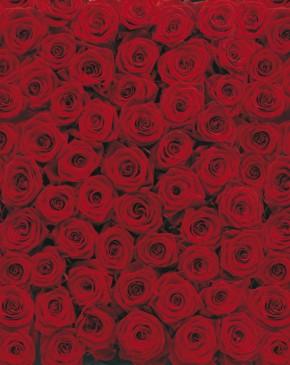 Fototapete Roses